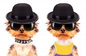 image of mafia  - Dog dressed as mafia gangster on a white background - JPG