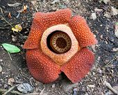 Rafflesia keithii, the biggest flower of the world.