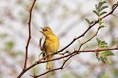 Yellow Weaver - African Wild Bird Background - Even Birds Itch