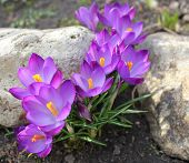 Crocus (Crocus Vernus) flowers