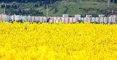 Rapeseed Field At Town Ruzomberok, Slovakia