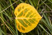 Yellow-green Aspen Leaf