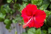 Hibiscus Flower Or Chinese Rose, Shoe Flower