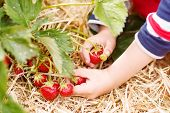 picture of strawberry blonde  - Hands of little child picking strawberries on organic pick a berry farm in summer on warm day - JPG