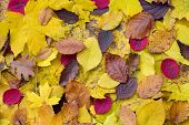 Random autumn leaves with natural imperfections laying on the ground