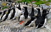 Atlantic Puffin and a group of Razorbills