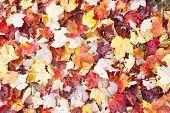 Full frame fall leaves.