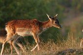 Deer Calf Walking On A Glade