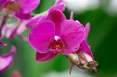 Beautiful Purple Orchid - Phalaenopsis.