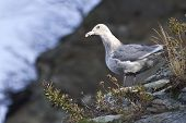 Glaucous-winged Gull Is Sitting On The Slope Of The Shore Of The Bay