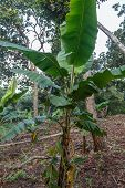 Small Banana Tree In The Jungle, Nicaragua