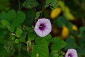 Bell-shaped Foxgloves In Summer Bloom