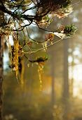 Straw Beard Lichen