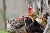 colorful rooster and hens  on field in spring