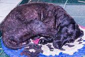 Black Poodle Mixed Dog Sleep