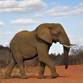 red soil and elephant,Africa,South Africa