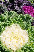Korean Lettuce in garden