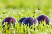 Plum In The Grass