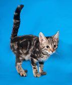 Striped Kitten Standing On Blue