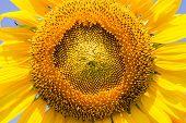 Sunflower beautiful big closeup