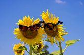 Sunflower in love in sunglasses .