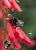 stock photo of bumble bee  - A bumble bee on a red Penstemon - JPG