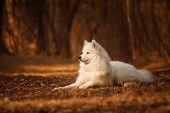 pic of wolf-dog  - Samoyed dog on the background of orange forest - JPG