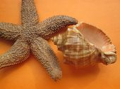 picture of echinoderms  - Starfish and seashell from Ocean in front of orange background - JPG
