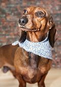 picture of dachshund dog  - Red dachshund dog with sun glasses or bow tie scarves Red dachshund dog with sun glasses or bow tie handkerchiefs over wooden table - JPG