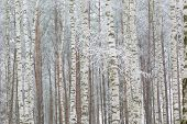 foto of birching  - Frosty birch forest in winter - JPG