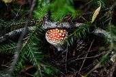foto of peep  - Small cute the fly agaric peeping from under the pine branches - JPG
