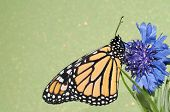 picture of monarch butterfly  - Monarch butterfly resting on a blue Cornflower against green background - JPG