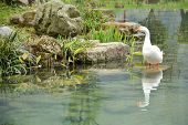 picture of duck pond  - reflection of white duck in the pond  - JPG