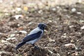picture of possess  - Hooded crow - JPG