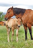 stock photo of foal  - Mare stays close to her foal at a Colorado ranch - JPG
