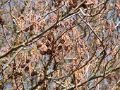 stock photo of alder-tree  - full frame alder detail at early spring time - JPG