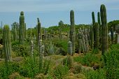 Beautiful Cactuses On The Cactus Plantation