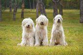 stock photo of sheep-dog  - Three south Russian Sheep Dog in park - JPG