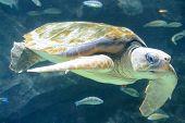 stock photo of porpoise  - A sea turtle swimming in an aquarium - JPG