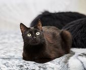 picture of mammal  - black domestic cat sitting on a bed - JPG