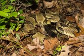 stock photo of coil  - A Timber Rattlesnake coiled on the ground - JPG