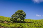 picture of cameron highland  - Tea plantation Cameron highlands in the India - JPG