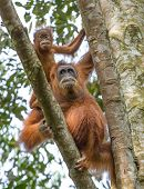 picture of gunung  - Female orangutan with a baby hanging on a tree in Gunung Leuser National Park - JPG
