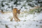 pic of freeze  - Eurasian lynx cub walking in winter colorful forest with snow - JPG