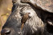 picture of oxen  - Cape buffalo with a red - JPG