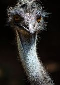 stock photo of stare  - Emu staring and glaring and looking quite grumpy