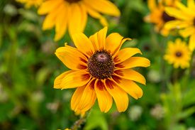 pic of black-eyed susans  - Images taken of an early summer field of the wild Black - JPG