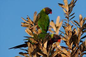pic of lorikeets  - Rainbow lorikeet sitting in the bush and looking around - JPG
