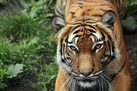 pic of jungle animal  - Malayan tiger  - JPG