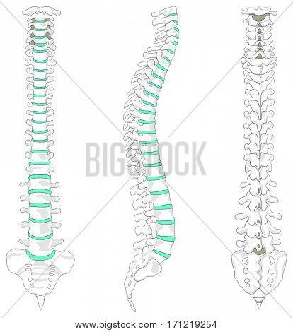 Vertebral Column spine structure of